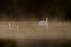 dimmiga swans royaltyfria bilder