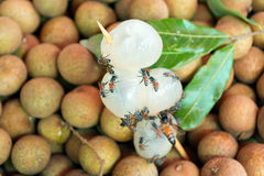 Dimocarpus longan bee Royalty Free Stock Image