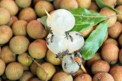Dimocarpus longan pszczoła Obraz Royalty Free