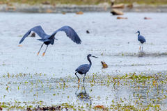 Dimorphic Egret - Dark Morph. Considered by some to be a race of Little Egret, there are two 'morphs', dark and light.  These are dark morphs, photographed in a Royalty Free Stock Images