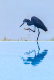 Dimorphic Egret - Dark Morph. Considered by some to be a race of Little Egret, there are two 'morphs', dark and light Royalty Free Stock Photos