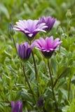Dimorphoteca flowers in full bloom Stock Images