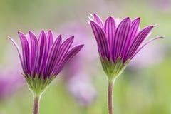 Dimorphoteca flowers in full bloom Stock Photography