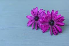 Dimorphotheca delicado púrpura de la flor dos en un fondo ligero de madera Imagen de archivo libre de regalías