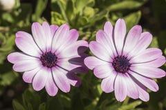 Dimorphotheca ecklonis fiołkowy kwiat obraz royalty free
