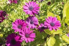 Dimorphotheca ecklonis pink flower Stock Image