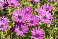Dimorphotheca ecklonis pink flowers Stock Image