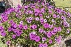 Dimorphotheca ecklonis pink flowers Stock Photos