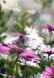 Dimorphotheca white and violet flowers under bright sunshine Royalty Free Stock Images
