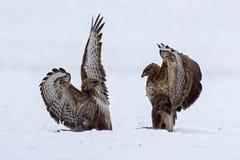 Dimostrazione di forza fra gli uccelli predatori Fotografia Stock Libera da Diritti