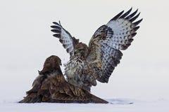 Dimostrazione di forza fra gli uccelli predatori Immagine Stock