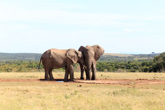 Din min kompis - afrikanBush elefant Royaltyfri Foto