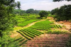 A Dinamarca Hong Pao Tea Fields wuyishan Foto de Stock Royalty Free