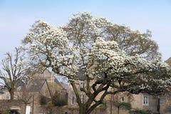 Dinan Cotes d'Armor, Bretagne, France. Tree in bloom Dinan Cotes d'Armor, Bretagne, France Stock Photography