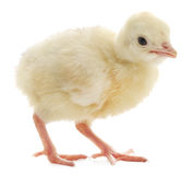 Dinde de poulet Images libres de droits