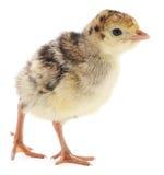 Dinde de poulet Photo libre de droits