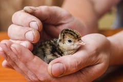 Dinde nouveau-née dans les mains approximatives d'un agriculteur image stock