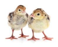Dindes de poulet Photo stock