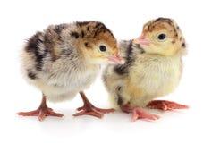 Dindes de poulet Image libre de droits