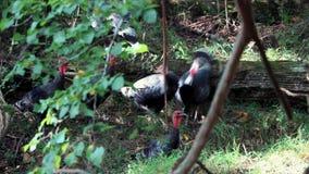 Dindes sauvages recherchant la nourriture dans la forêt banque de vidéos