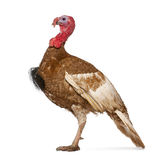 Dindon Rouge des Ardennes turkey. Standing in front of white background stock images