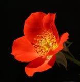 Ding Rose Stockbild
