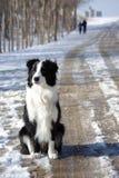 Dingding, border collie bonito: só Foto de Stock Royalty Free