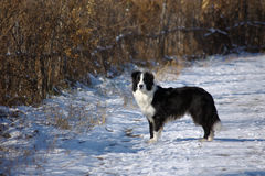 Dingding, border collie sveglio Fotografia Stock