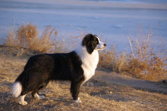 Dingding,a cute Border collie:nice body Stock Photos