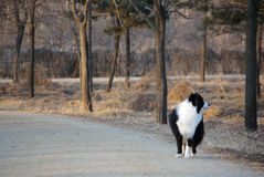 Dingding, nettes Border collie: Schokolade Stockfoto