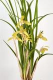 dingjin orchid Arkivbilder