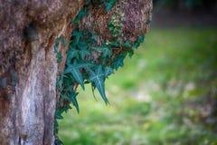 Dingla murgrönan på stammen royaltyfria bilder