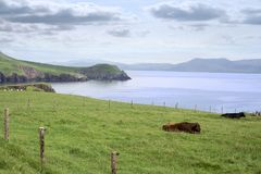 Dingle peninsula cattle on the wild atlantic way Stock Photography
