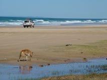 Dingo και 4X4 στο αυστραλιανό νησί στοκ εικόνες