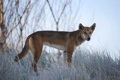 Dingo που εξετάζει τη κάμερα Στοκ Εικόνα