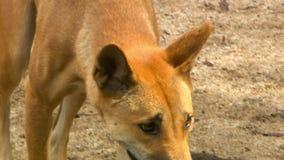 Dingo που περπατά νευρικά απόθεμα βίντεο