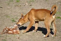 Dingo που τρώει τα πουλερικά στοκ φωτογραφίες