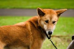 Dingo στο ζωολογικό κήπο της Αυστραλίας σε ένα λουρί στοκ εικόνες με δικαίωμα ελεύθερης χρήσης
