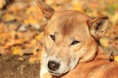 Dingo της Νέας Γουϊνέας Στοκ φωτογραφία με δικαίωμα ελεύθερης χρήσης