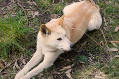 Dingo. A Dingo laying down. The Dingo is dog indigenous to Australia Royalty Free Stock Images