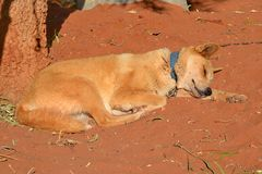 Dingo Royalty Free Stock Images