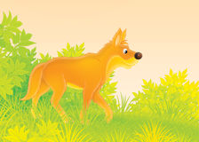 Dingo. Wild dog dingo in forest Royalty Free Stock Images