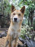 Dingo Royaltyfria Foton