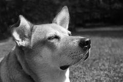 Dingo foto de stock royalty free