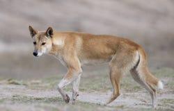 Dingo Fotos de Stock