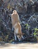 Dingo Στοκ φωτογραφίες με δικαίωμα ελεύθερης χρήσης