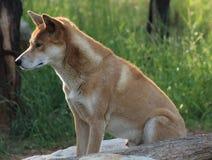 Dingo Imagem de Stock