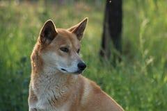Dingo Foto de Stock