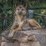 dingo Imágenes de archivo libres de regalías