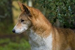 Dingo Royalty Free Stock Photos